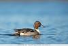 Northern Pintail - Male - Colusa NWR, Colusa, CA, USA