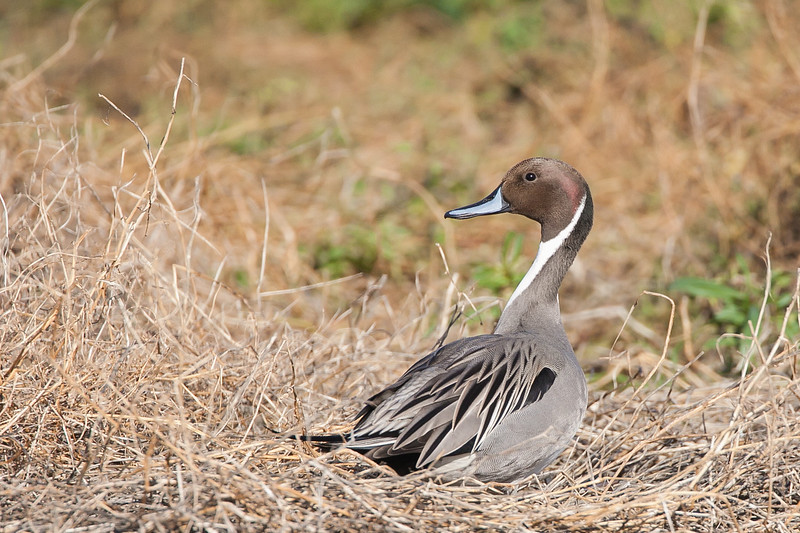 Northern Pintail - Mountain View, CA, USA