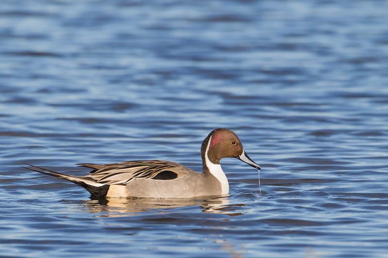 Northern Pintail - Male - Colusa NWR, CA, USA