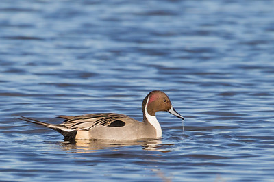 Northern Pintail - Male - Colusa NWR, CA, USA