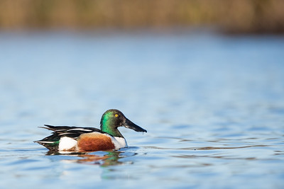 Northern Shoveler - Male - Colusa NWR, Colusa, CA, USA
