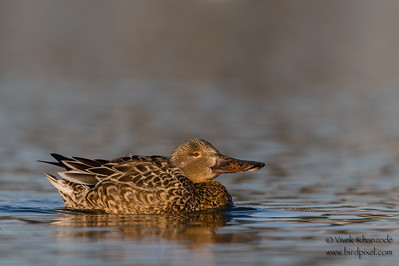 Northern Shoveler - Female - Radio Road, Redwood City, CA, USA