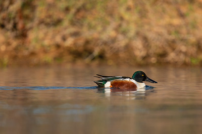 Northern Shoveler - AZ, USA