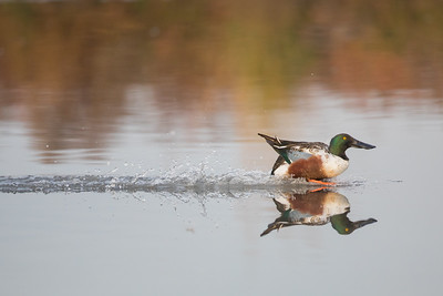Northern Shoveler - Mountain View, CA, USA