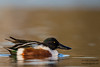 Northern Shoveler - Male - Radio Road, Redwood City, CA, USA