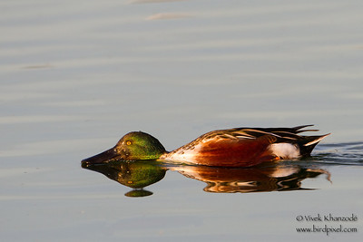 Northern Shoveler - Radio Road, Redwood City, CA, USA