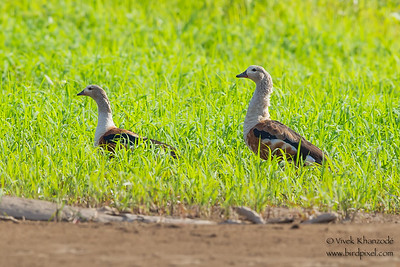 Orinoco Goose - Record - Rio Madre-di-Dios, Peru