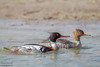 Red-breasted Merganser - Brownsville, TX, USA
