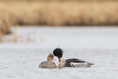 Red-breasted Mergansers - Nome, AK, USA