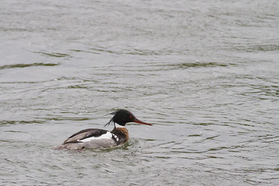Red-breasted Merganser - Nome, AK, USA