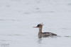 Red-breasted Merganser (Female) - Record - Hokkaido, Japan