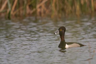 Ring-necked Duck - Los Banos, CA, USA