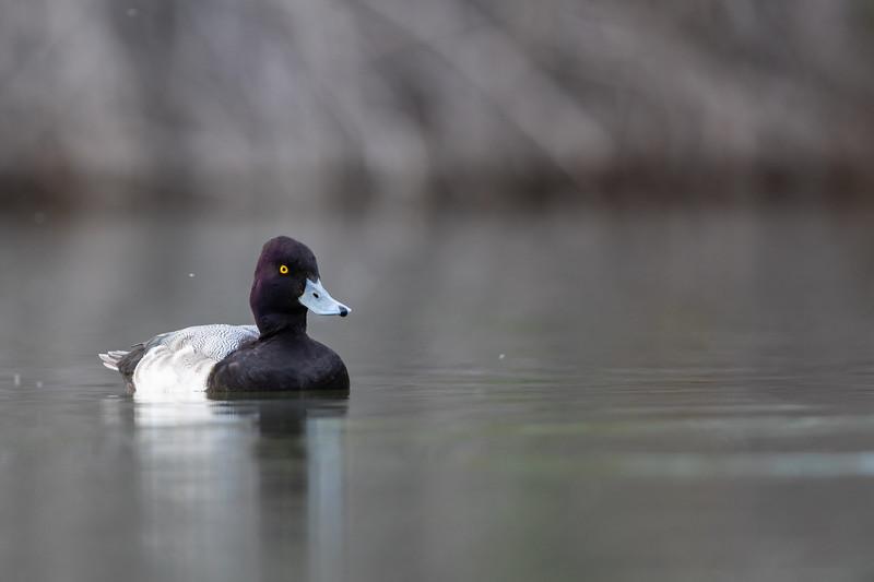 Ring-necked Duck - AZ, USA