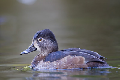 Ring-necked Duck - Female - San Francisco, CA, USA