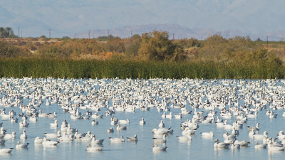 Snow Geese and Ross's Geese - Salton Sea, CA, USA