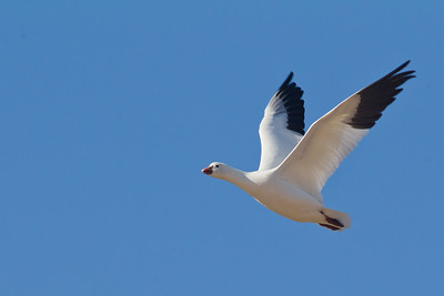 Ross's Goose in flight - Salton Sea, CA, USA