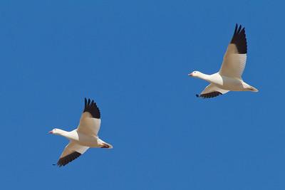 Ross's Geese in flight - Salton Sea, CA, USA