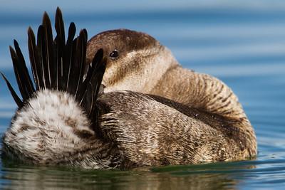Ruddy Duck - Female - Palo Alto Duck Pond, Palo Alto, CA