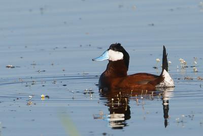 Ruddy Duck - Male - Sierra Valley, CA, USA