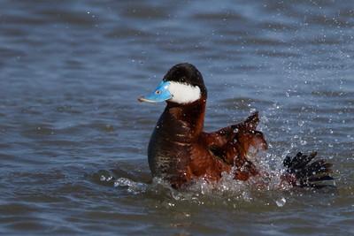 Ruddy Duck - Male - Shoreline Park, Mountain View, CA, USA