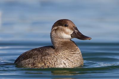 Ruddy Duck - Female - Palo Alto, CA, USA