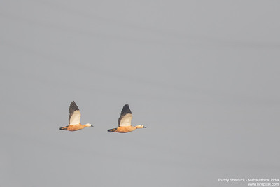 Ruddy Shelduck - Maharashtra, India