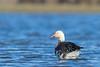 Snow Goose - Blue morph - Colusa NWR, Colusa, CA, USA