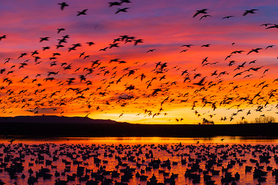 Snow Geese - Bosque-del-Apache, NM, USA