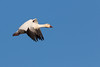 Snow Goose in flight - Colusa NWR, Colusa, CA, USA