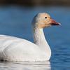 Snow Goose -Portrait - Colusa NWR, Colusa, CA, USA
