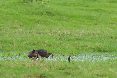 Spur-winged Goose - Record - Arusha National Park, Tanzania