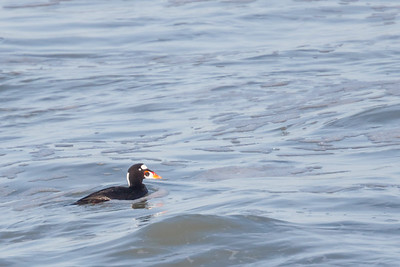 Surf Scoter - Pacifica, CA, USA