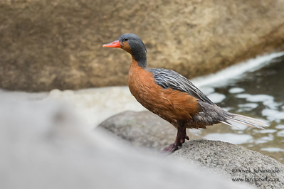 Torrent Duck - Female - Rio Urubamba, Aguas Calientes, Peru