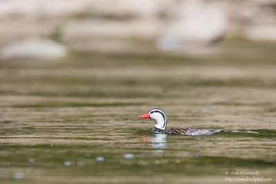 Torrent Duck - Male - Rio Urubamba, Aguas Calientes, Peru