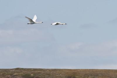 Tundra Swan - Nome, AK, USA