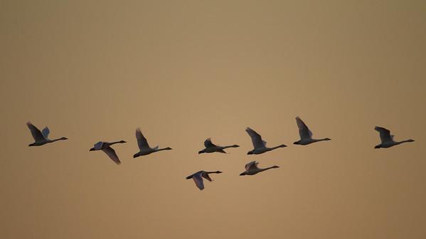Tundra Swans in flight - Lodi, CA, USA