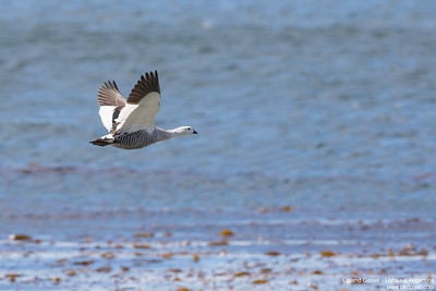 Upland Goose - Ushuaia, Argentina