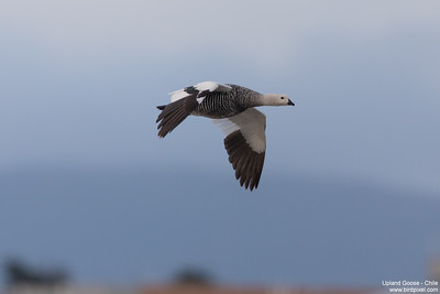 Upland Goose - Chile