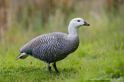 Upland Goose - Tierra del Fuego NP, Argentina