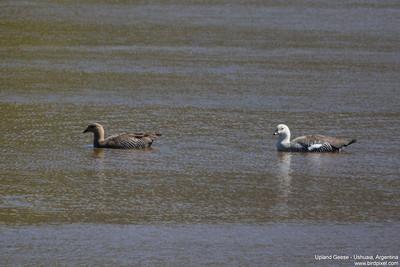 Upland Geese - Ushuaia, Argentina