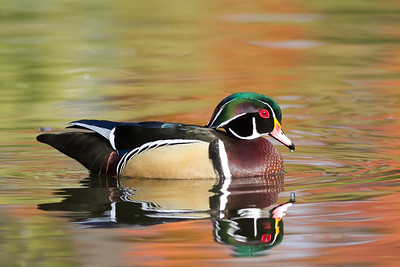 Wood Duck - Union City Library Pond - Union City, CA, USA