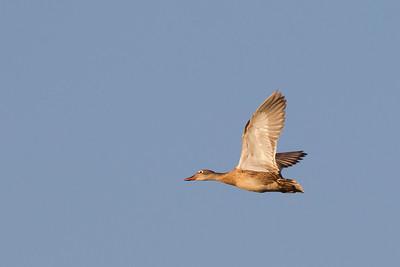 Wood Duck - Female - in flight - Alviso, CA, USA