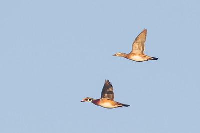 Wood Duck Female & Male in flight - Bird Haven Ranch, Butte City, CA, USA