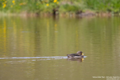 Yellow-billed Teal - Ushuaia, Argentina