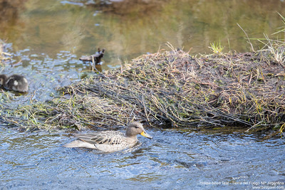 Yellow-billed Teal - Tierra del Fuego NP, Argentina
