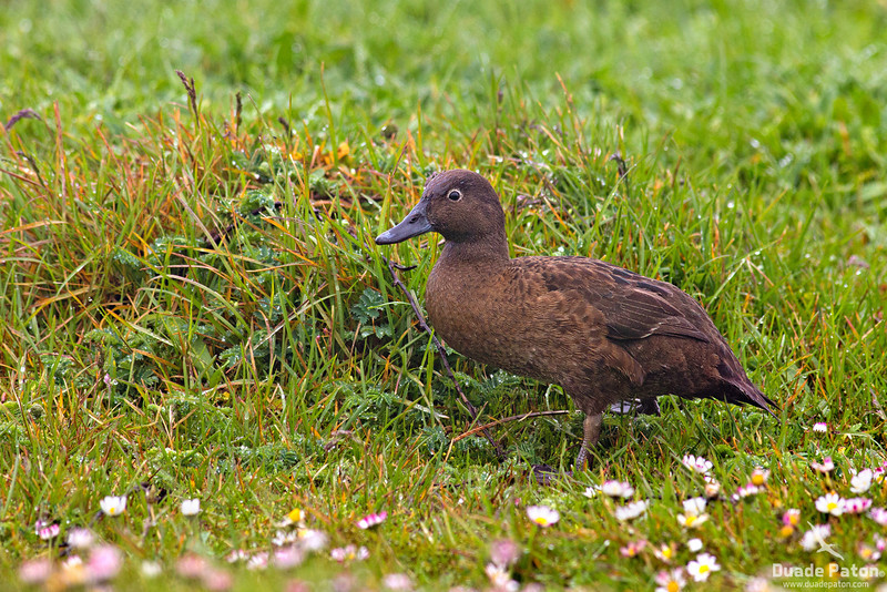 Auckland Island Teals - Female