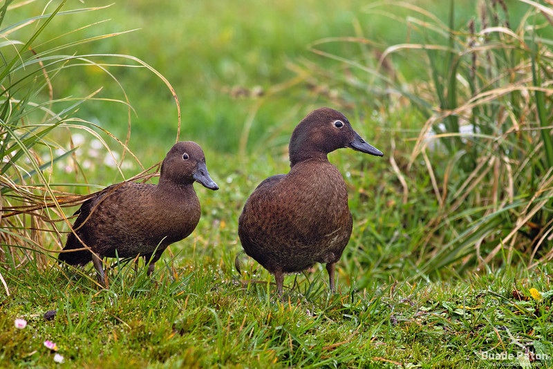 Auckland Island Teals - Female(L) Male(R)