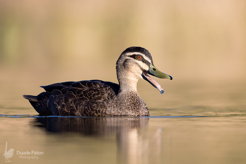 Pacific Black Duck