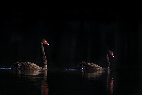 Black Swans <br /> Sydney, Australia