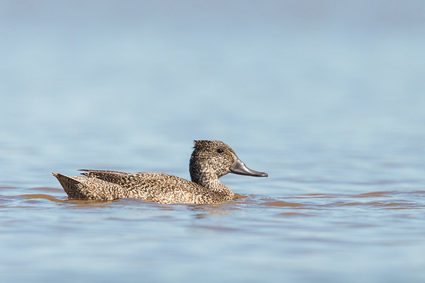 Freckled Duck-0780©DavidStowe